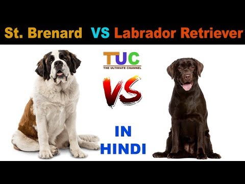 Saint Bernard vs Labrador Retriever : Dog VS Dog : TUC : The Ultimate Channel