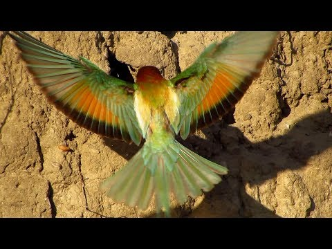 European bee-eater (Merops apiaster) feeding chicks on nesting site