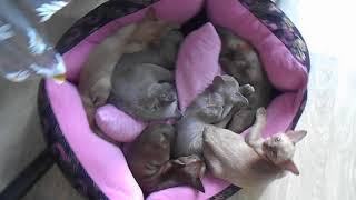 Купить котёнка Бурмы (бурманской кошки). Котята и кошки бурмы мило спят вместе
