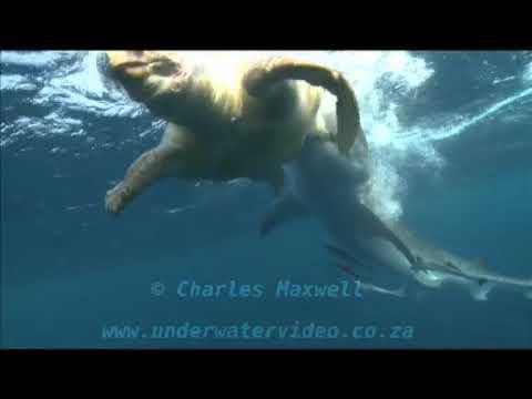 Brave Sea Turtle Attacks Tiger Shark |Tiger Sharks Attack Turtle