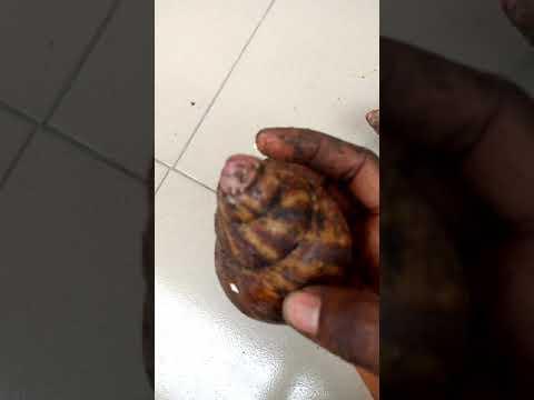 Simple Difference Between Snail (Achatina Achatina and Achatina Marginata)