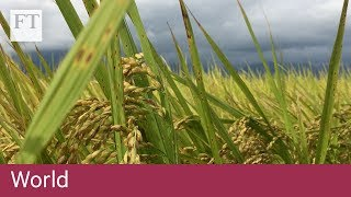 Blockchain helps Taiwan's rice farmers mitigate effects of climate change