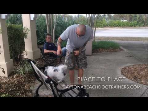 "6mo old Pomeranian ""Storm"" 