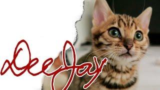 Bengal Kitten & BKH Silvertabby / Die erste Woche Bengal Bengalcats / First Week