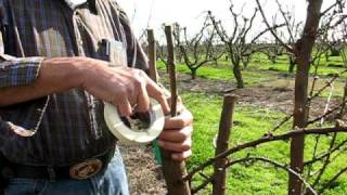 Straight and Side Graft, Grafting trees in the Bella Viva Orchards