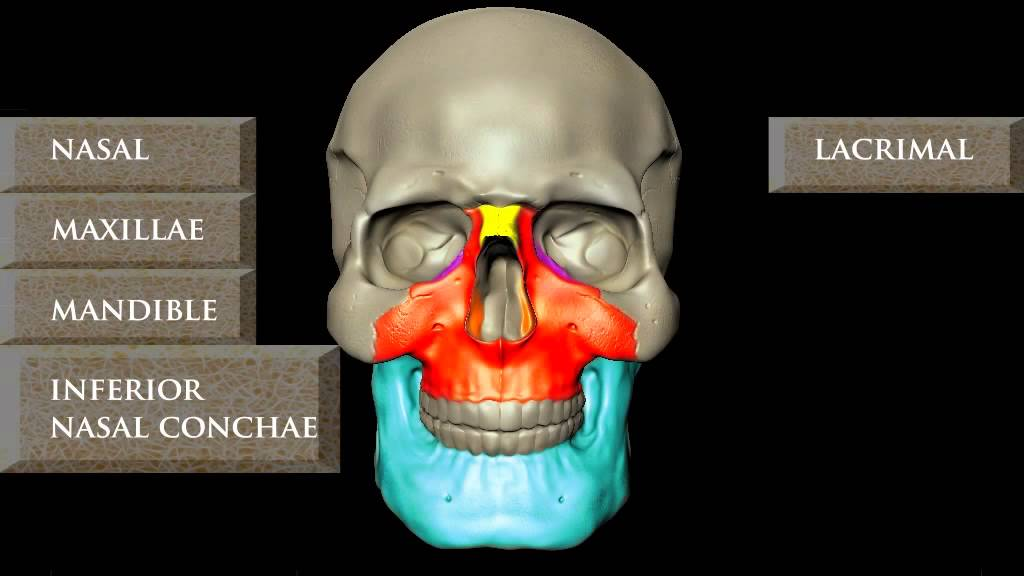 HUMAN SKULL ANATOMY 3D ANIMATION BY JEANNIE BELLA - YouTube