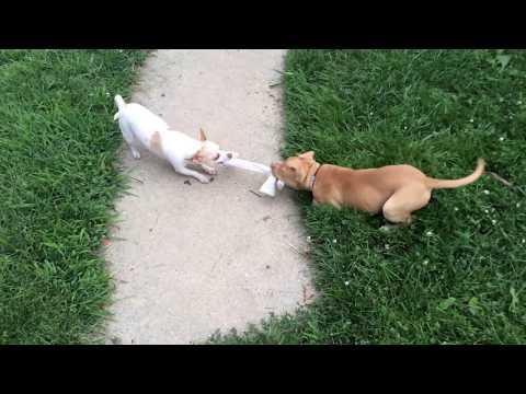 Pit Bull Puppy vs. Chihuahua Cute Dog Tug-A-War