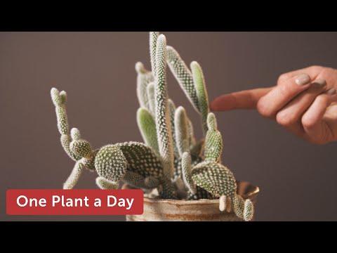 Opuntia microdasys (Bunny Ear Cactus) Houseplant Care — 8 of 365