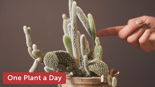 Opuntia microdasys (Bunny Ear Cactus) Houseplant Care — 8 of 365