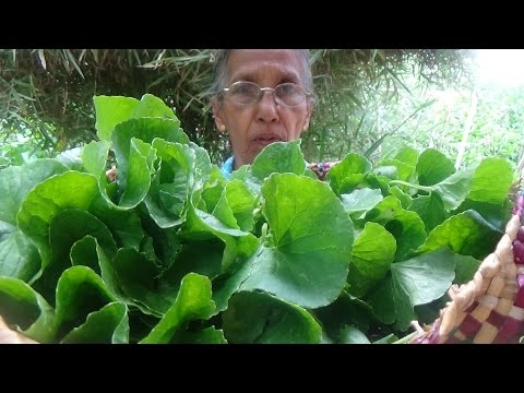 Healthy Village Foods – Pennywort Salad prepared in my Village by Grandma