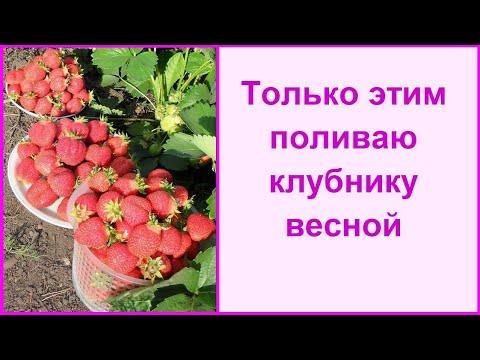 Чем подкормить клубнику для хорошего урожая! Большой урожай клубники гарантирован!