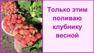 Только этим поливаю клубнику и выращиваю шикарный урожай!