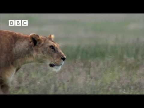 Hyena Attacks Lion & Pays the Price!