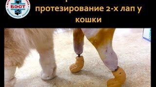 Первое в России протезирование двух лап у кошки