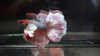 Beautiful BLUE METALLIC RED Dumbo SUPER EARS Halfmoon HM (Male) Betta