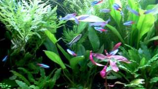 Aquarium Plant Amazon
