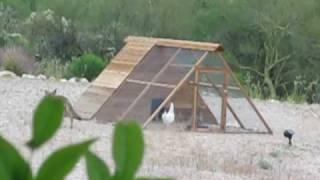 Coyotes attacks chicken coop