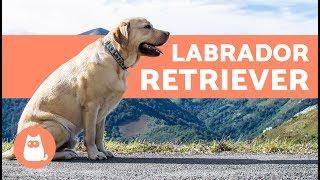 LABRADOR RETRIEVER  ¡Todo sobre la raza canina!