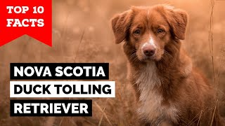Nova Scotia Duck Tolling Retriever  Top 10 Facts