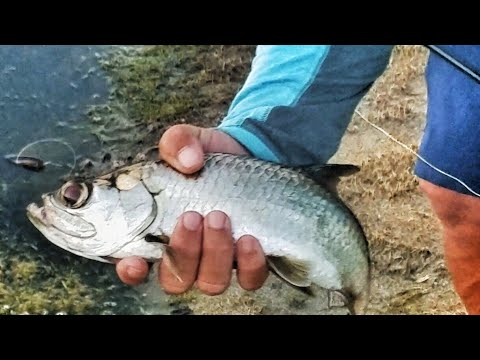 Pond Fishing For Tiny Micro Tarpon Fish in Florida!!! Angler Vs Angler Challenge