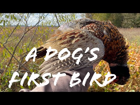 Iowa Pheasant Hunt 2019- A Dog's First Bird