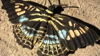 Ton Schmetterlinge  -  Butterflies