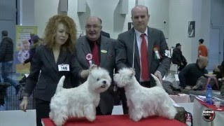 BOB West Highland White Terrier