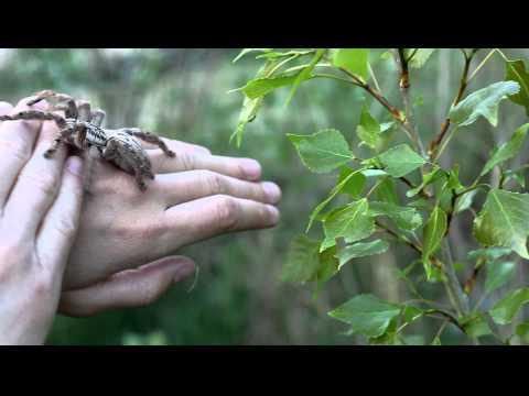 handling of defensive Heteroscodra maculata