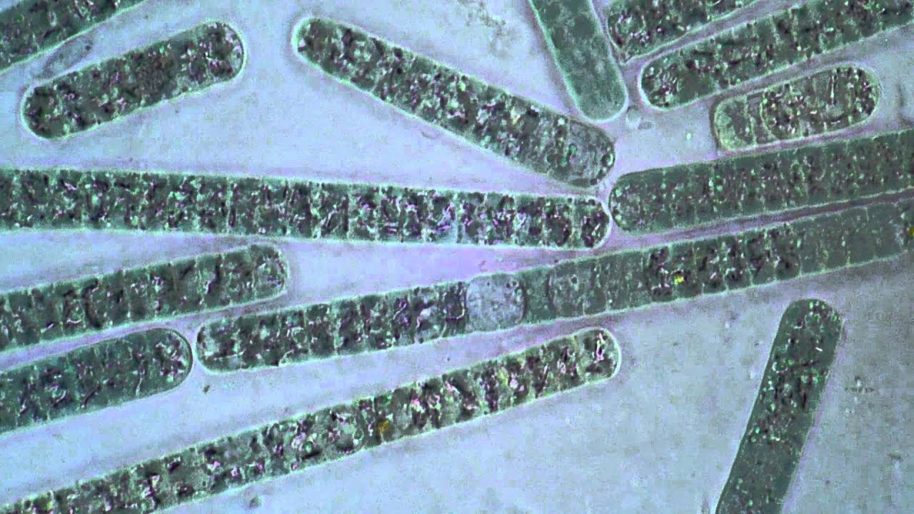 Oscillatoria (Cyanobacteria) - Filament Movement - YouTube