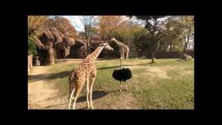 Giraffe versus Ostrich 2
