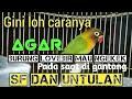 Cara Agar Burung Lovebird Mau Ngekek Pada Saat Di Gantang  Mp3 - Mp4 Download