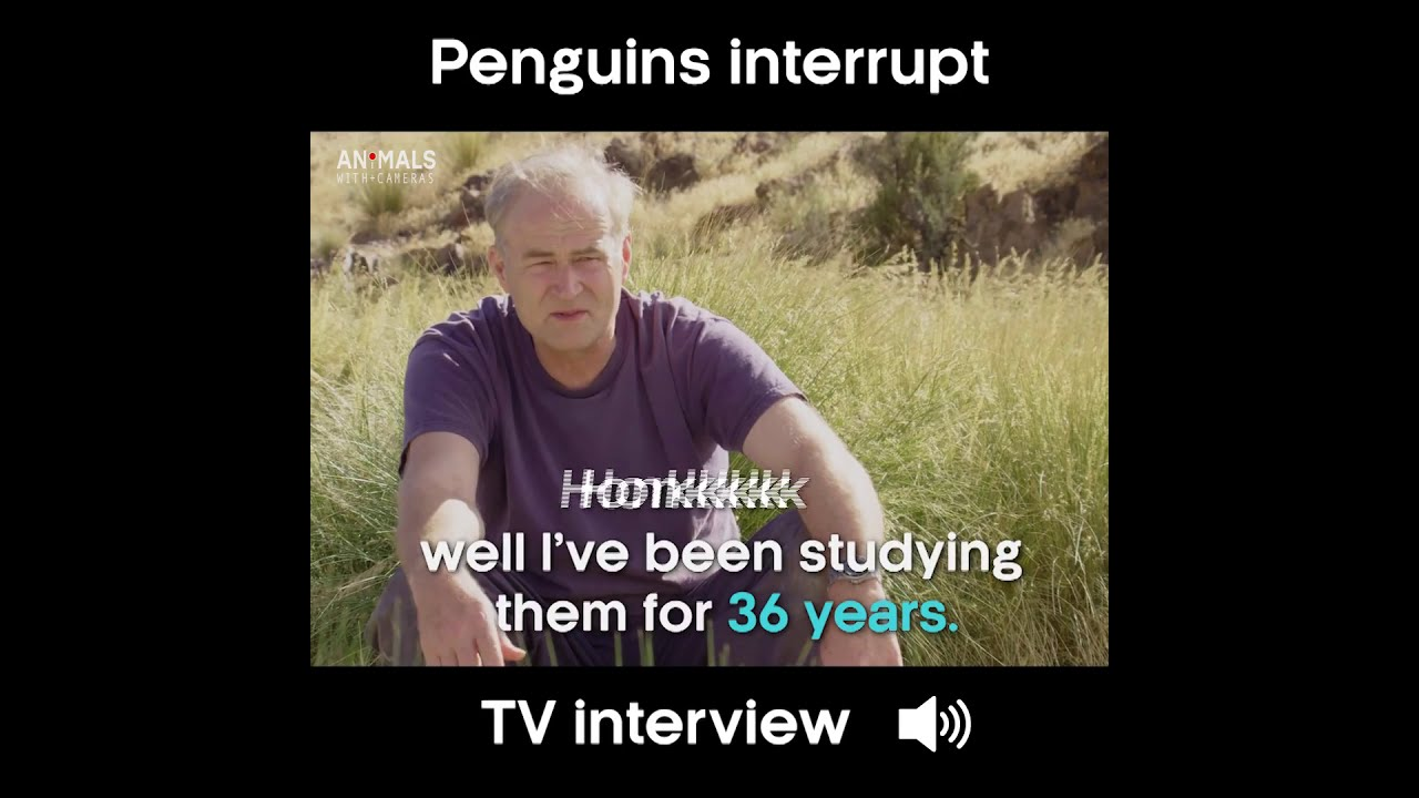 Download TV Interview interrupted by penguins