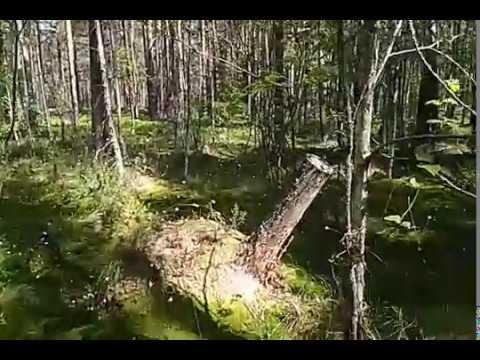 Поездка в летний лес - Багульник, мох, вереск, можжевельник