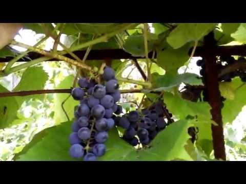 Виноград ИЗАБЕЛЛА август 2014 поэтапное развитие куста.