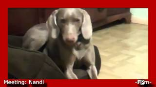 Meet ~ Nandi - She Is Our Weimaraner & She Is A Sleepy Baby!