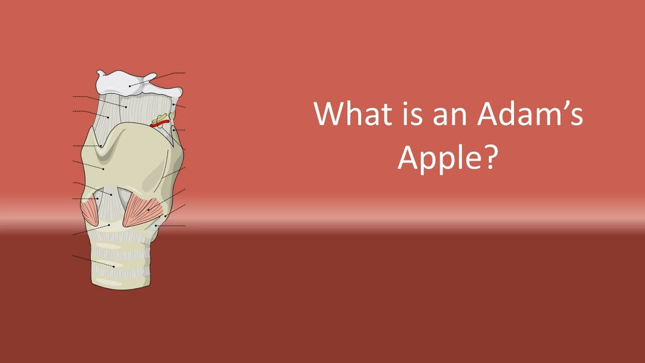 What is an Adam\'s Apple ? - YouTube