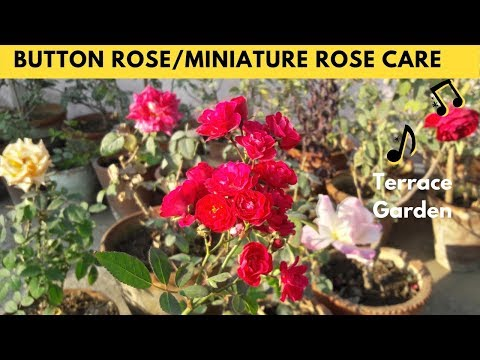 Button Rose Care , Tips For Care Of Miniature Roses Planted In Containers. - 동영상