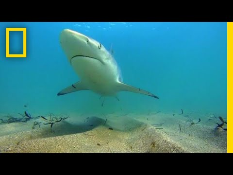 Why Fewer Blacktip Sharks Are Migrating to Florida | National Geographic