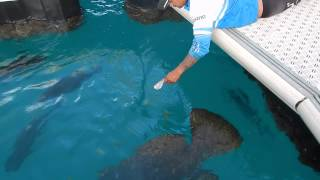 Renegade Fishing Charters - Feeding the GTs and Grouper