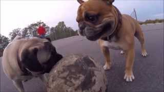 Soccer , Football Pug Versus French Bulldog (full Lenght)
