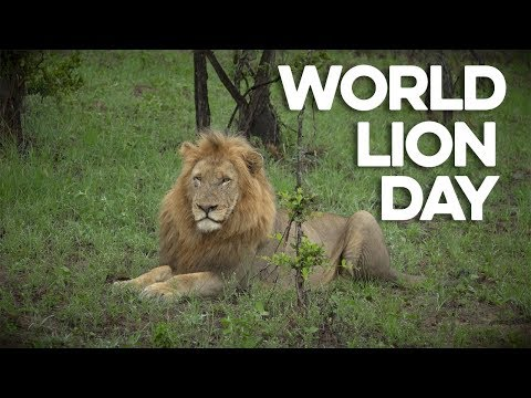 Roaring from the rooftops in celebration of World Lion Day 2018