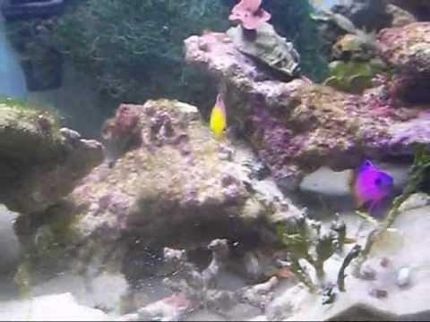 Talbot's Damsel Fish.wmv