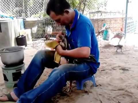 Tắm rửa hàng ngày cho Gà Tuanhoanhao