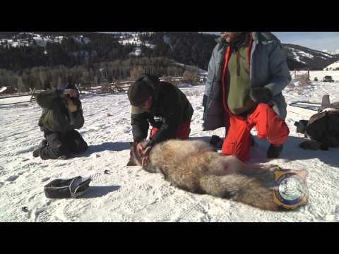 Wyoming Wolf Management