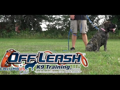 Dog Training: 5 Month Old English Mastiff, Honey! Before/After 2 Week Board and Train!
