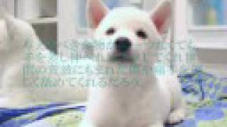 紀州犬「翔」クンの生後4ヶ月~現7歳のプロフィールビデオに「犬の十戒...