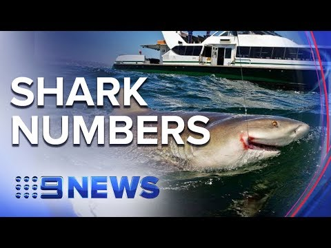 Fisherman say Sydney's harbour is teeming with sharks | Nine News Australia