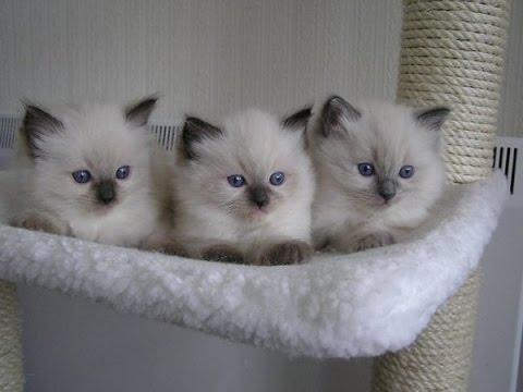 playfull ragdoll kittens   Too Cute!