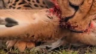 死に向かって戦う。ヒョウはヒョウを殺す。ライオンズはヒョウを攻撃し...
