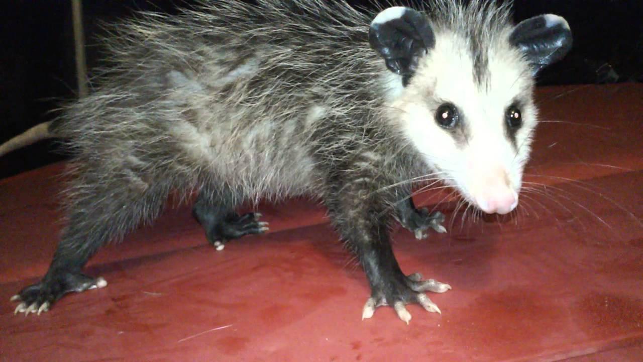 found a possum under my sink youtube